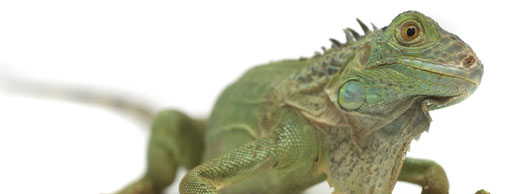 photograph of a green iguana